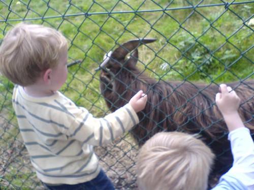 Bertie the Goat