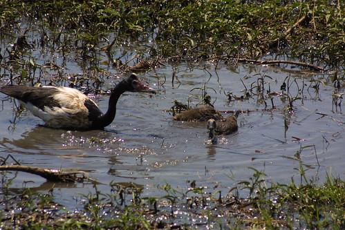 Magpie Geese Fogg Dam