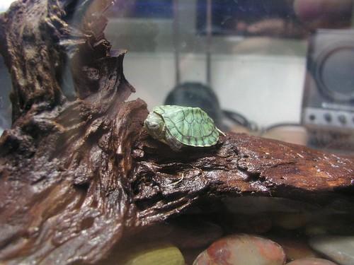Annie 的巴西烏龜-02