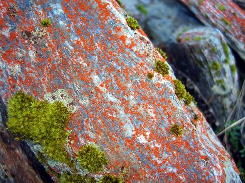 Fox Glacier河谷石上生長的紅色植物-3