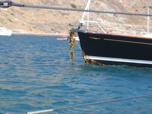kelp anchor
