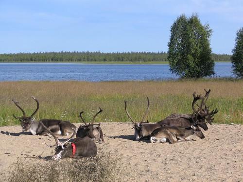 Reindeers on the beach