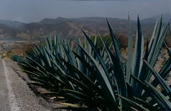 maguey - it's similar to agave, but not the same.