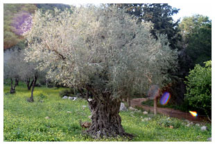 Olive Tree on Mount Carmel