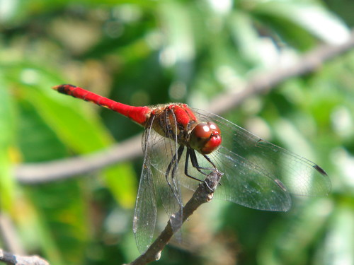 あかとんぼ / Red dragonfly
