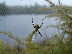 Spider on a dewy web