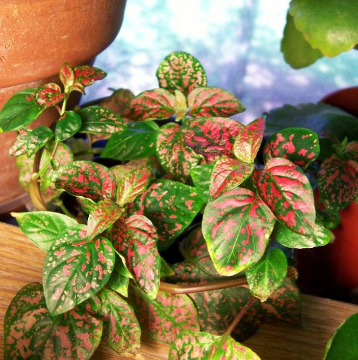 hypoestes pink dot/splash plants grow differently, Natural flower