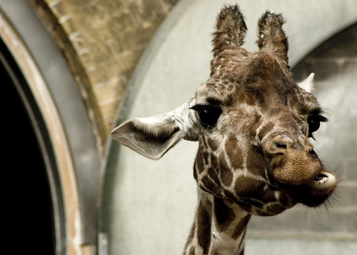London Zoo: Masticating giraffe