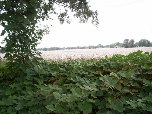 kudzu and cotton 1