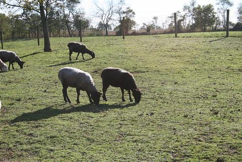 Sheep Pastorale