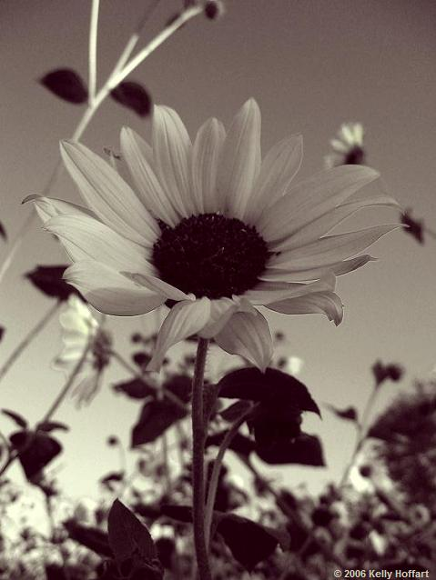 Sunflower in Monochrome