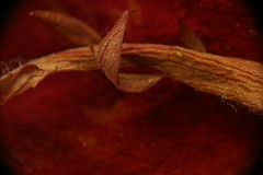 Tige de rose séchée (24 octobre 2006)
