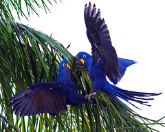 Hyacinth Macaws Fighting photo by masaiwarrior 2.5 M views