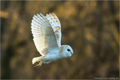 Barn Owl in Flight (EXPLORE) photo by jammo s