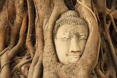 Buddha Head in Tree Roots photo by Rapidrat