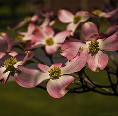 Pink Dogwood photo by kjerrellimages (Kevin W. Jerrell)