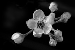 blossom in black and white 15Mar13 photo by johngpt