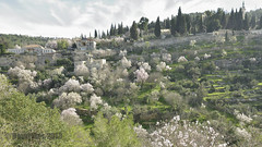 blossoming almond trees photo by David Mor {off}