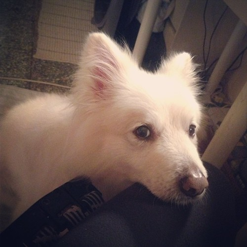 馬麻,我也想吃…… I want to eat, Mommy. #熊寶 #dog #doglife #dogdaily #dogstagram #instadog