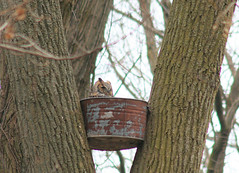 nesting great horned owl photo by lonniec61