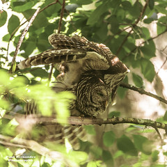 Barred Owl Readying for Flight at Corkscrew Swamp Sanctuary, Florida photo by D200-PAUL