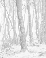 Silver Birches in a Blizzard photo by dougchinnery.com