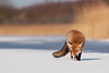 Red Fox on the Ice photo by Roeselien Raimond