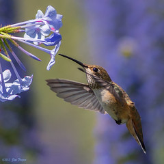Adult female or immature Rufous Hummingbird at Plumbago prop photo by SARhounds