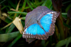 Blue Morpho Butterfly (Morpho peleides) - Explore #13 photo by MAC-Photography.co.uk