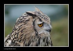 DSC_7715 Long eared Owl photo by robsm