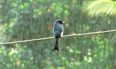 Drongo bird in rain photo by udithawix