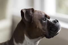[161/365] Boxer profile photo by ryotnlpm