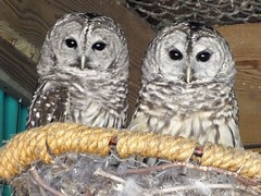 Barred Owls photo by RonG58