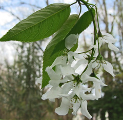 American Serviceberry photo by jrix
