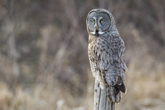 Late Great Grey Owl - Ottawa April 2013 - Strix nebulosa photo by Paul B Jones