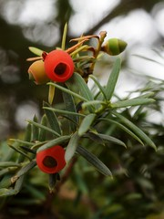 Fruiting Japanese Yew (3 photos) photo by Tatters ❀