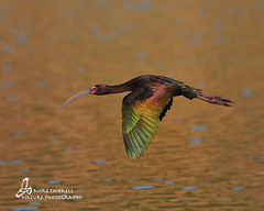 White-faced Ibis photo by mtetcher
