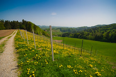 Wineyard full of blooming dandelions (explored) photo by Aljaž Vidmar | ADesign Studio