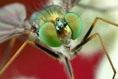 long legged fly photo by FISHNROBO