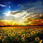 Seedssunflowers