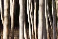 birch trunks (Explored) photo by Andreas Hagman