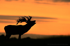 Red Deer Calling Silhouette photo by Old-Man-George