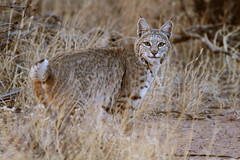 Bobcat (Lynx rufus) photo by Jared Hughey