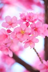 Cherry Blossom Delight photo by *Sakura*