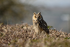 Long Eared Owl photo by paeuk