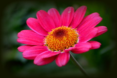 Exotic daisy photo by Good Nature One