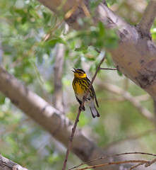 Cape May Warbler photo by smumpton