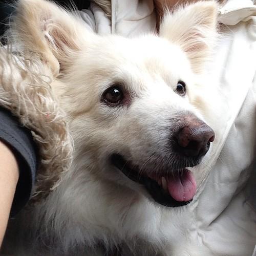 Love to sit next to mommy #熊寶 #dog #doglife #dogdaily #dogstagram #instadog