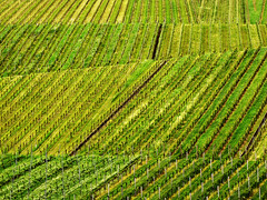 Vineyard Lines in Spring photo by Batikart