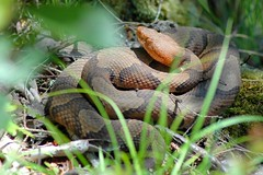 Copperhead in the Wild photo by NC Mountain Man